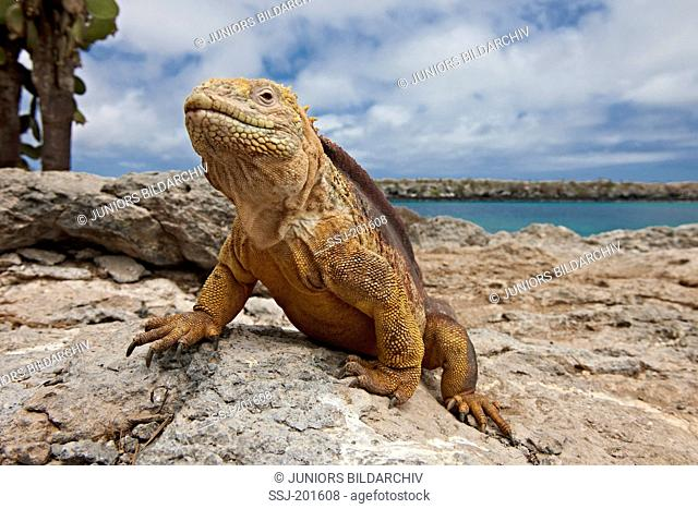 Galapagos Land Iguana (Conolophus subcristatus). Single individual on a rock. Isla Plaza, Galapagos Islands, Ecuador