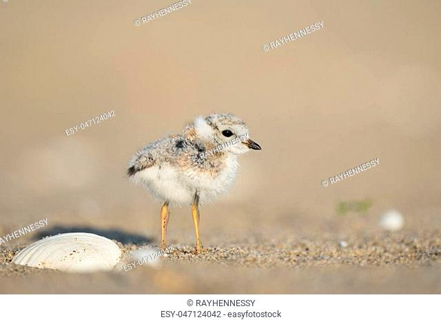 An endangered cute and tiny Piping Plover chick stands on a sandy beach next to a shell in the early morning sunlight