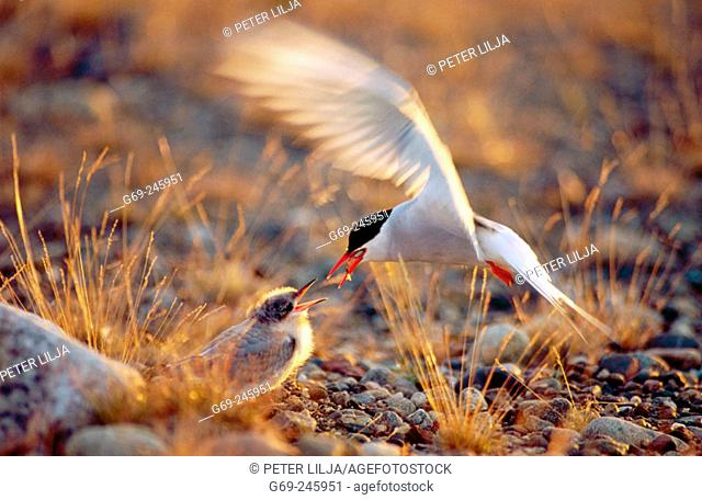 An artic tern (Sterna Paradisaea) feeding it's young in evening light. Vasterbotten. Sweden
