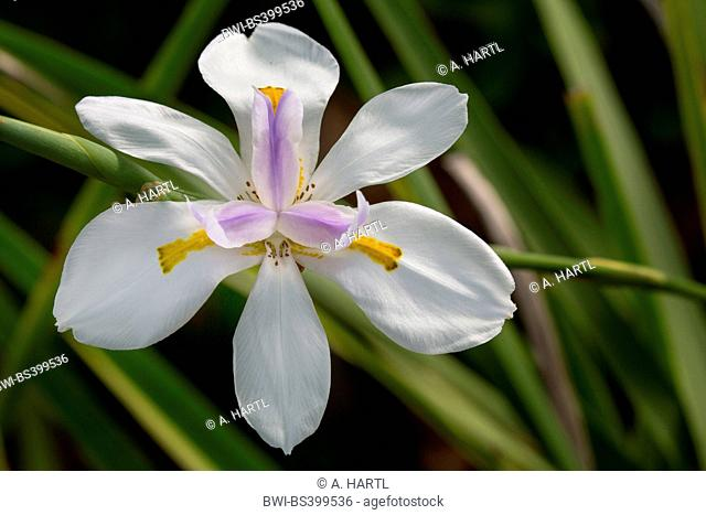 African iris, Cape iris (Dietes iridioides), flower, USA, Florida, Kissimmee