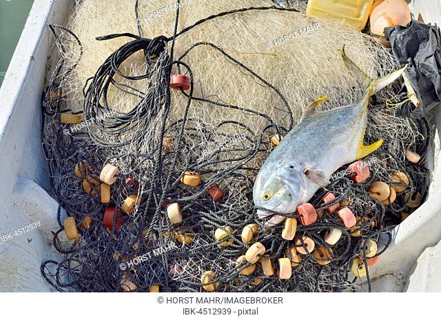Yellowfin tuna (Thunnus albacares) lying on fishing net in boat, El Cujo, Yukatan, Mexico