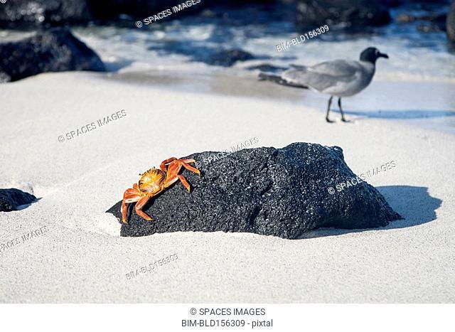 Crab crawling on beach rock