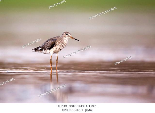 Common redshank (Tringa totanus) hunting for food in shallow water. This bird is found throughout Europe and northern Asia