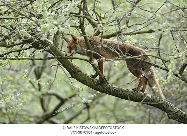 Red Fox ( Vulpes vulpes ) climbing on a tree, extraordinary behaviour, perfectly adapted, wildlife, Europe