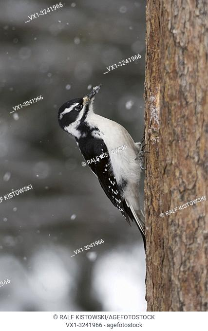 Hairy woodpecker / Haarspecht ( Picoides villosus ) in winter, light snowfall, climbing up a tree trunk of a pine, side view, Yellowstone NP, Wyoming, USA