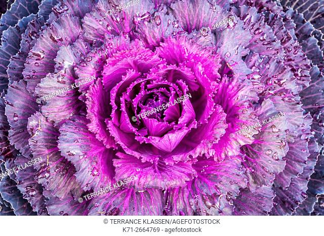Decorative cabbage close up in the Adirondack Mountains near Lake Placid, New York, USA