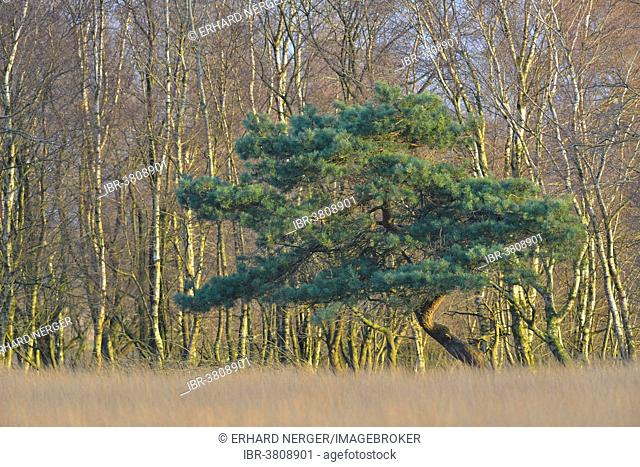 A Scots Pine (Pinus sylvestris) and a Downy Birch (Betula pubescens) in a bog environment, Tinner Dose, Emsland region, Lower Saxony, Germany