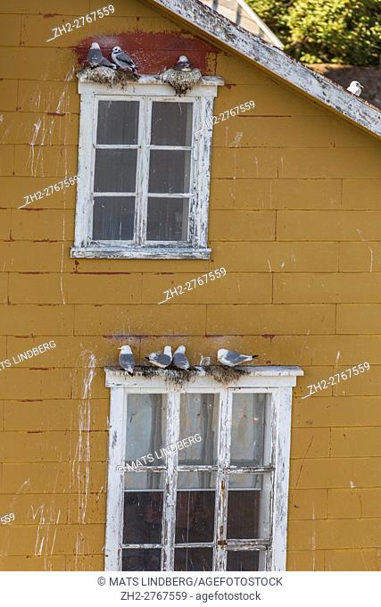 Black-legged kittiwake nesting on top of windows, Nusfjord, Lofoten Islands, Norway