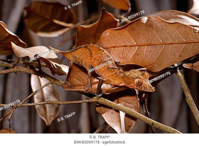 Spearpoint leaf-tail gecko (Uroplatus ebenaui), perfectly camouflaged, Madagascar, Nosy Be, Lokobe Reserva