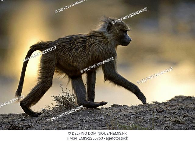Kenya, Masai Mara Reserve, Olive Baboon (Papio anubis), young against the light