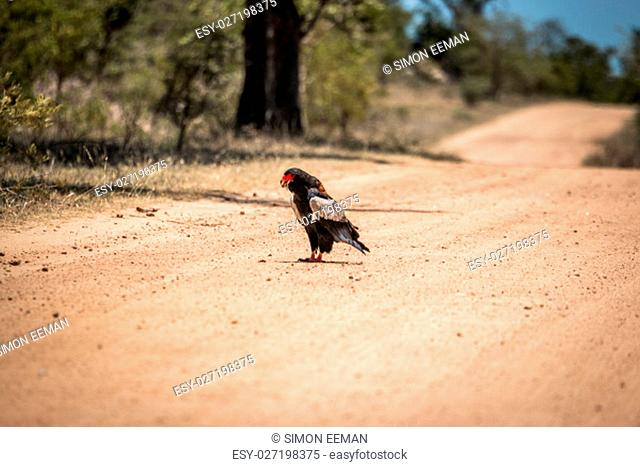Bateleur eating on the road in the Kruger National Park, South Africa