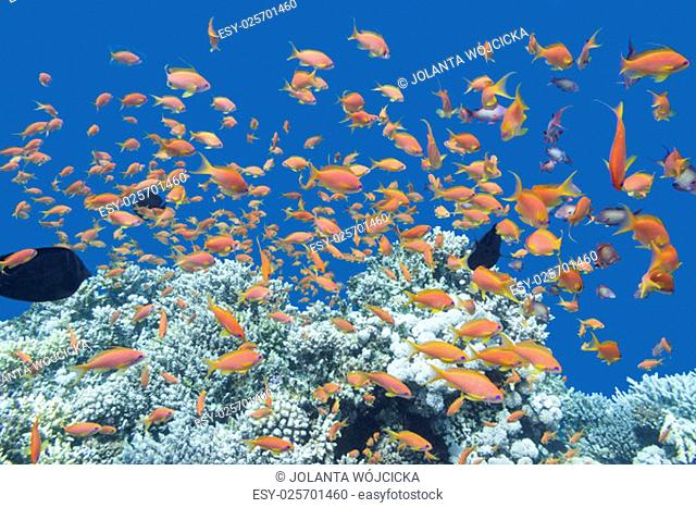 coral reef with shoal of exotic fishes Anthias at the bottom of tropical sea