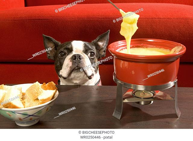 Boston Terrier staring at fondue