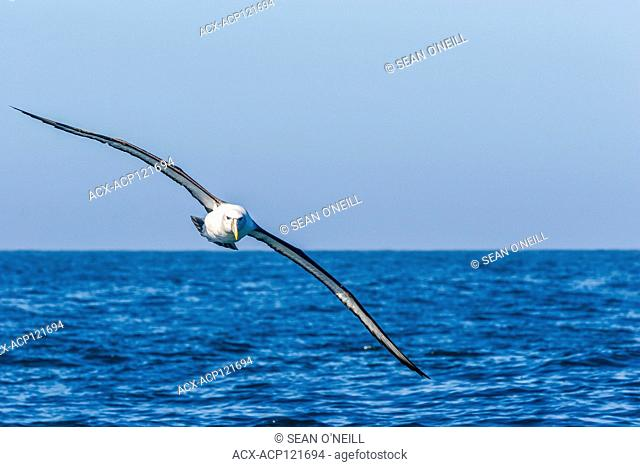 southern royal albatross (Diomedea epomophora) in flight Kaikoura, South Island, New Zealand