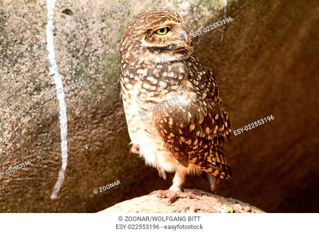 Southern burrowing owl