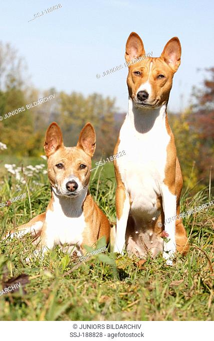 Basenji. Two adults in a meadow. Germany