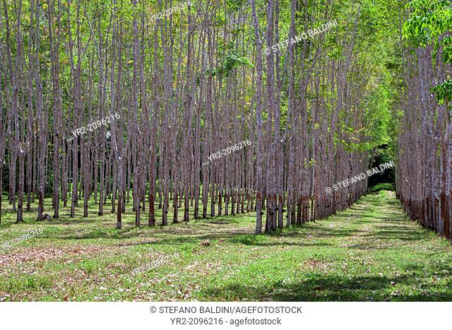 Rubber tree plantation with collecting bowls in Thailand