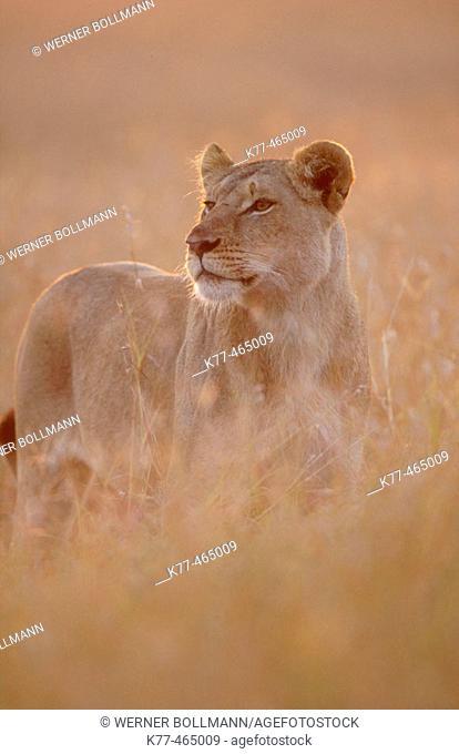 Lioness in the savannah of the Masai Mara (Panthera leo). Masai Mara G.R. Kenya