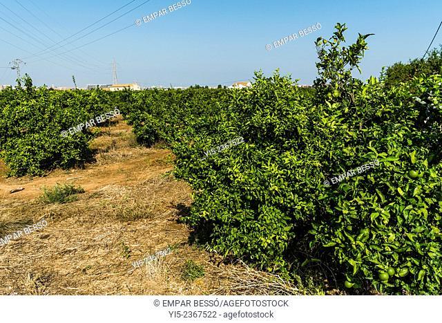 Orange trees.Valencia. Spain