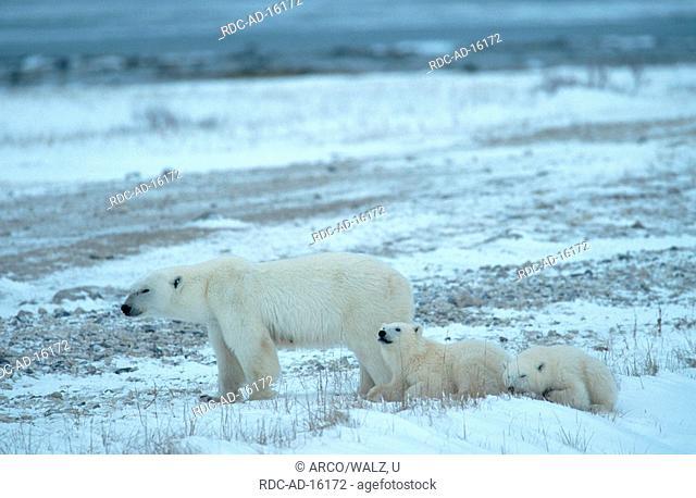 Polar Bears, female with cubs, Churchill, Manitoba, Canada, Ursus maritimus, Thalassarctos maritimus, Arctic, cub
