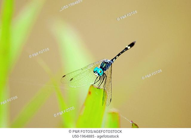 Thermoregulatory behaviour in dragonfly. Micrathyria sp. , Libellulidae, Odonata