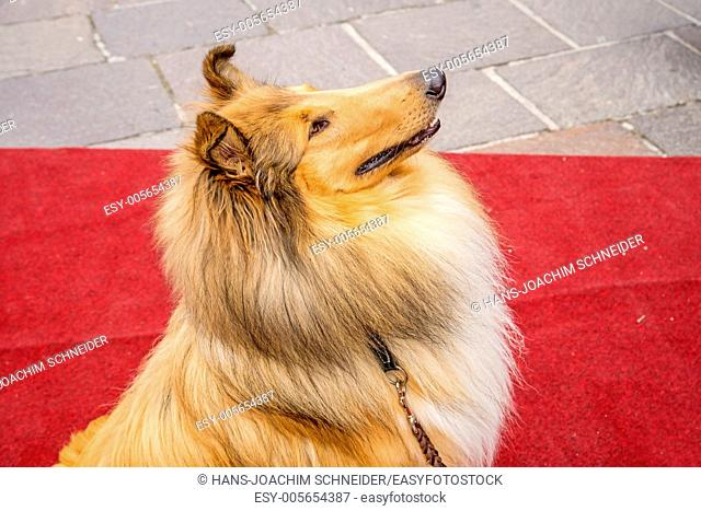 collie dog sitting on red carpet in Germany