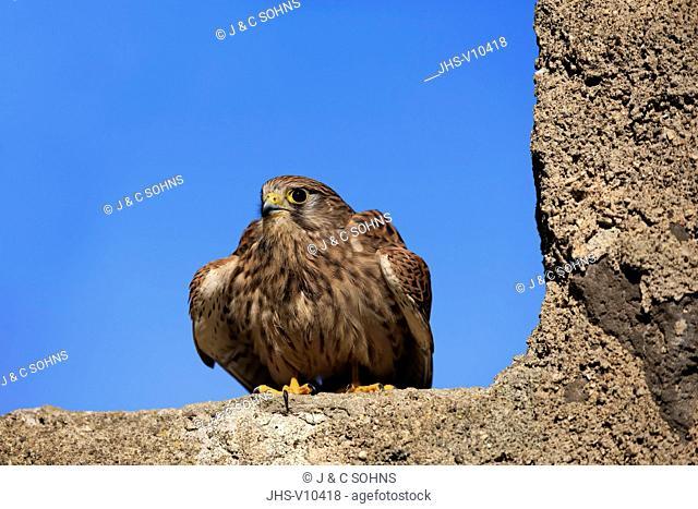 European Kestrel, Common Krestel, (Falco tinnunculus), adult on rock, Pelm, Kasselburg, Eifel, Germany, Europe