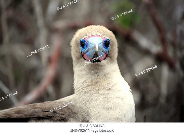 Red Footed Booby,Sula sula,Galapagos Islands,Ecuador,adult,portrait