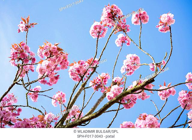 Cherry blossom on branches