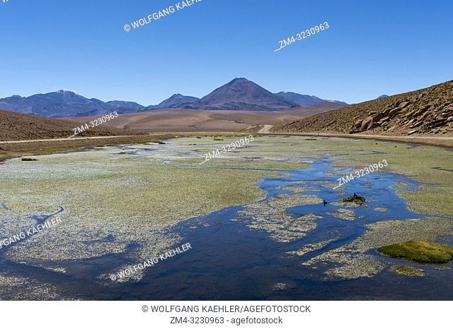 Giant coots (Fulica gigantea) nesting in the wetland of the Vado Rio Putana in the Atacama Desert near San Pedro de Atacama, northern Chile