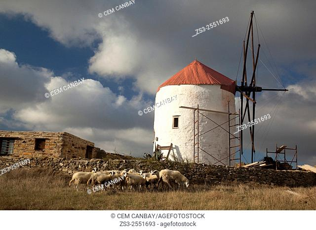 Windmill and sheeps near Kampos village, Tinos, Cyclades Islands, Greek Islands, Greece, Europe