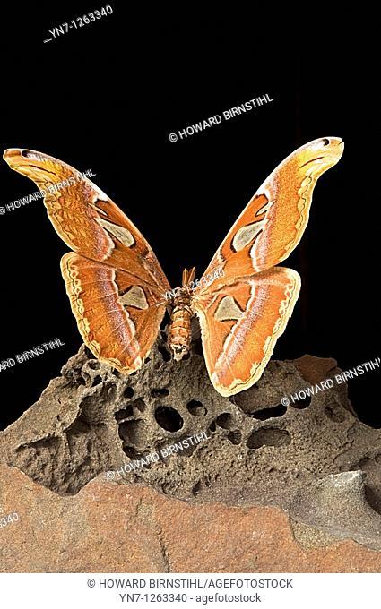 Malaysian Atlas moth Atacus atlas