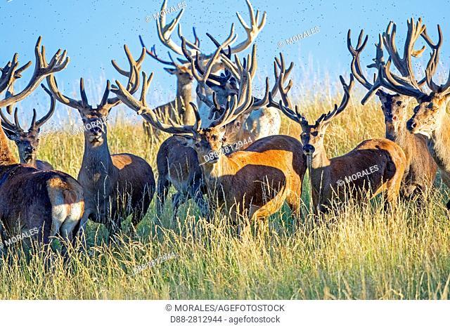 France, Haute Saone, Private park, Red Deer (Cervus elaphus), Male red deer with antlers whose velvet begins to fall