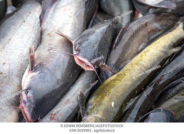 Barrel of blue catfish on the Potomac River near Fort Washington, Maryland, USA