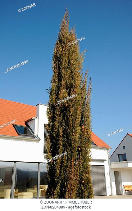 Cupressus sempervirens, Echte Zypresse, Italian cypress