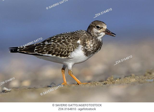 Ruddy Turnstone, Juvenile standing on the beach, Campania, Italy (Arenaria interpres)
