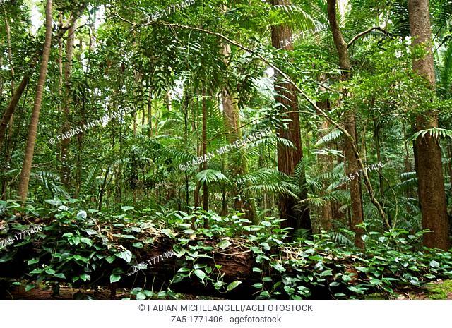 Vine covered fallen tree, Rain forest, Central Station  Fraser Island, Great Sandy National Park, Queensland, Australia
