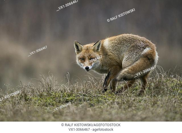 Red Fox ( Vulpes vulpes ) adult, in typical surrounding, turning around on a little hill, attentive, secretive, cautious, wildlife, Europe