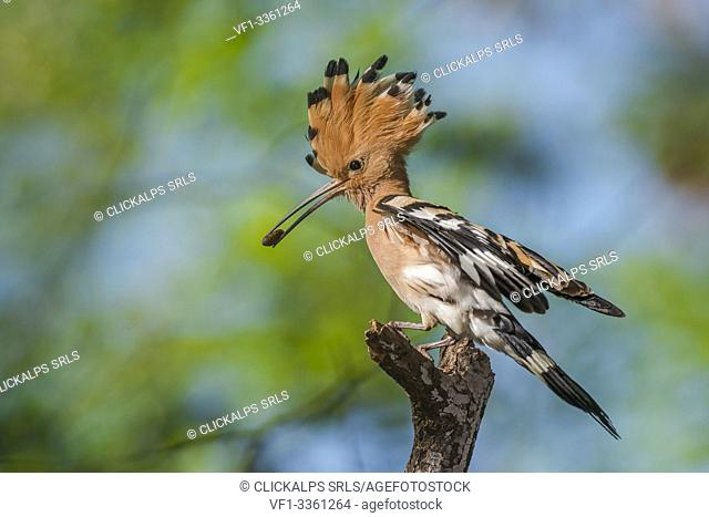 Hoopoe with prey, Trentino Alto-Adige, Italy