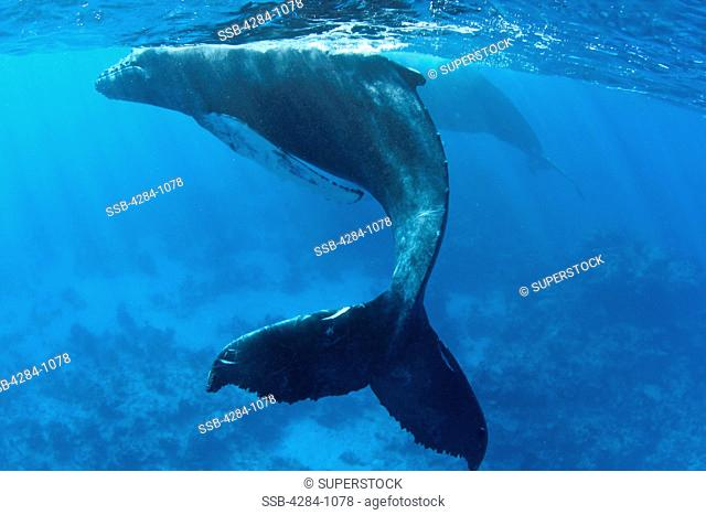 Humpback whale Megaptera novaeangliae with its calf underwater, Turks and Caicos Islands