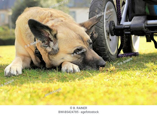mixed breed dog (Canis lupus f. familiaris), nine years old Malinois-mixed breed she-dog lying beside a baby buggy, Germany