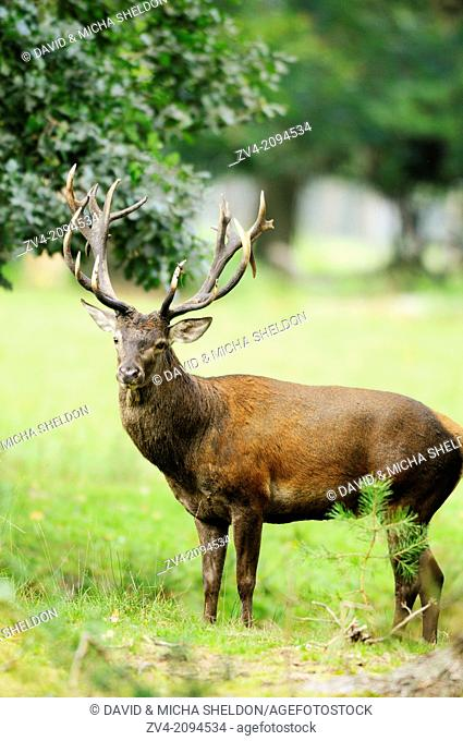 Close-up of a red deer (Cervus elaphus) male standing on a meadow