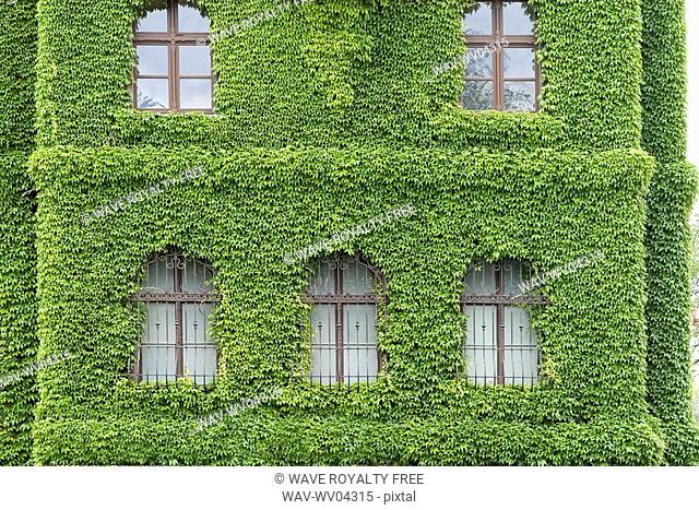 Building covered with morning glory, Poland