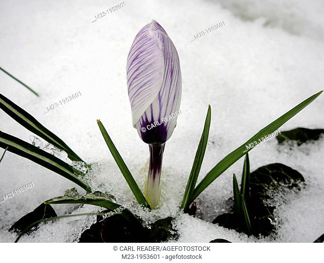 A crocus waits in the snow to open up in sunshine, Pennsylvania, USA