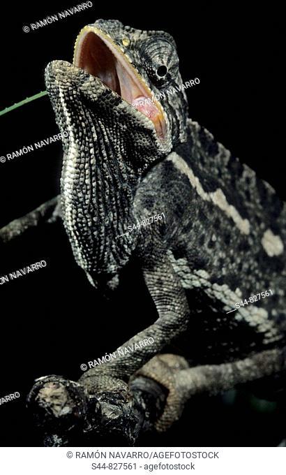 Chameleon (Chamaeleo chamaeleon). Andalucia, Spain