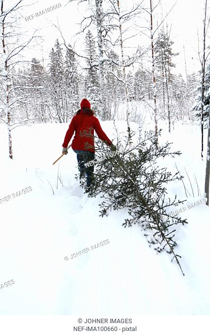 Woman carrying pine tree at winter, rear view