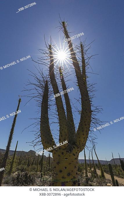 Boojum tree, also called Cirio, Fouquieria columnaris, near Misión de San Francisco de Borja, Baja California, Mexico