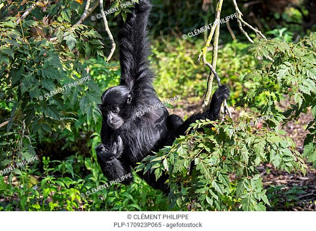 Siamang (Symphalangus syndactylus) arboreal gibbon native to the forests of Malaysia, Thailand and Sumatra