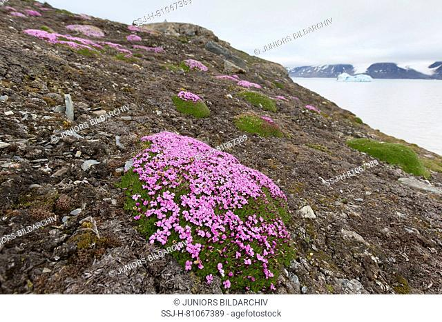 Cushion Pink, Moss Campion (Silene acaulis). Flowering plant between pebbles. Svalbard