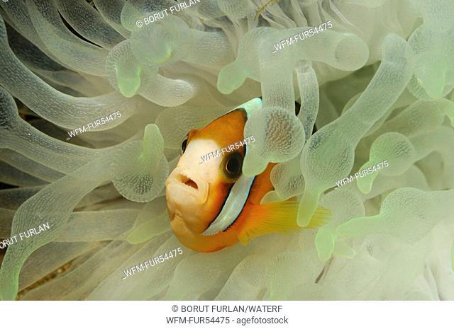 Clarks Anemonefish, Amphiprion clarkii, Lembeh Strait, Sulawesi, Indonesia